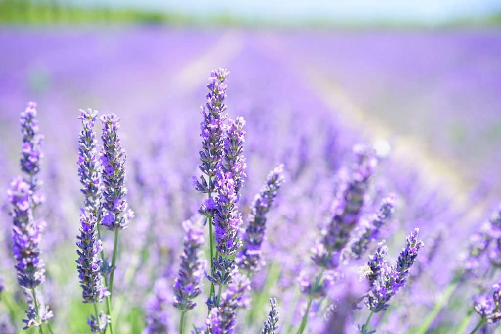 lavender-blossom-1595581_1280