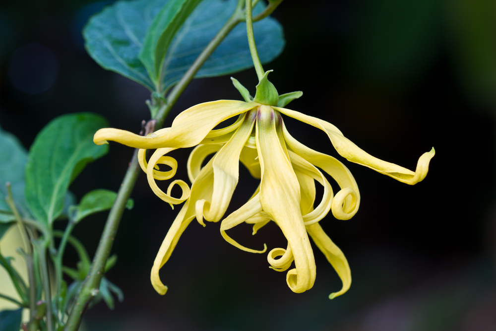 出典:https://jp.pinterest.com/avalonorganics/essential-oil-ylang-ylang/