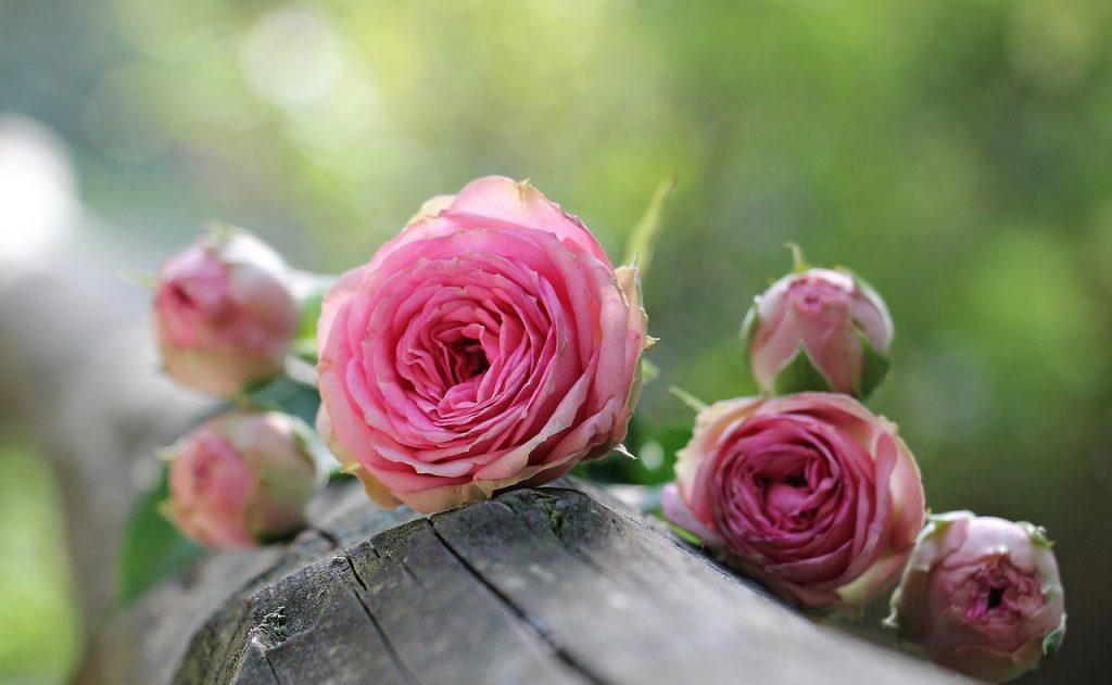 rose-1687884_1280