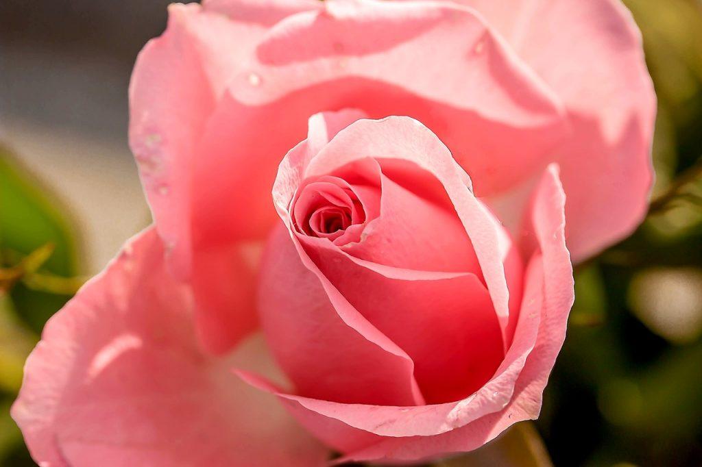rose-1732782_1280